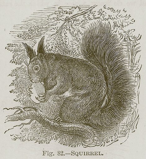 Squirrel. Illustration for Cassell's Book of Sports and Pastimes (Cassell, c 1890).