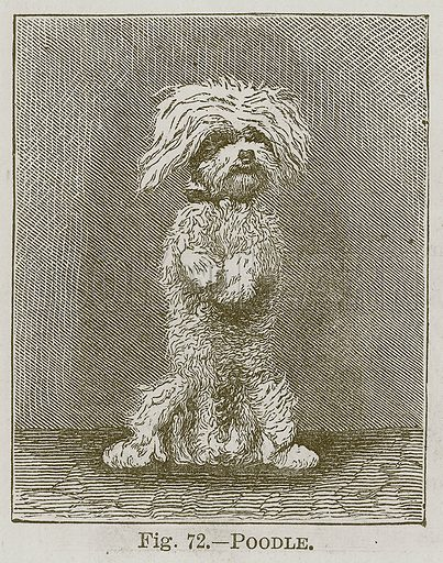 Poodle. Illustration for Cassell's Book of Sports and Pastimes (Cassell, c 1890).