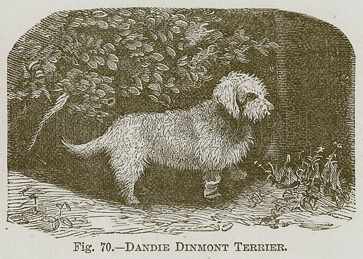 Dandie Dinmont Terrier. Illustration for Cassell's Book of Sports and Pastimes (Cassell, c 1890).