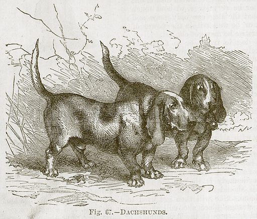 Dachshunds. Illustration for Cassell's Book of Sports and Pastimes (Cassell, c 1890).