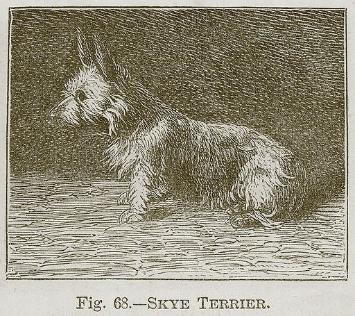 Skye Terrier. Illustration for Cassell's Book of Sports and Pastimes (Cassell, c 1890).
