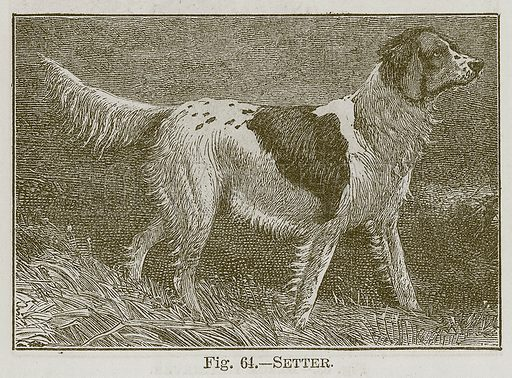 Setter. Illustration for Cassell's Book of Sports and Pastimes (Cassell, c 1890).