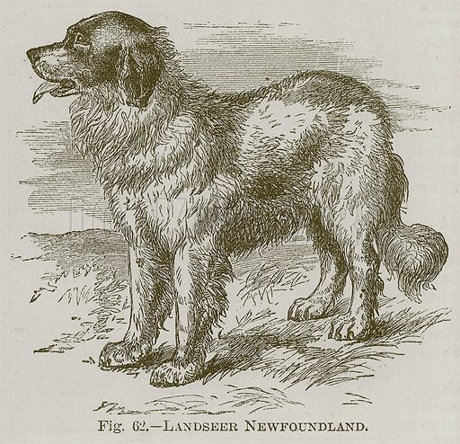 Landseer Newfoundland. Illustration for Cassell's Book of Sports and Pastimes (Cassell, c 1890).