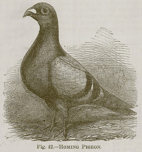 Homing Pigeon. Illustration for Cassell's Book of Sports and Pastimes (Cassell, c 1890).
