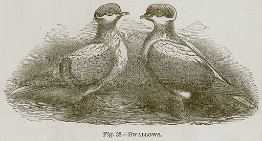 Swallows. Illustration for Cassell's Book of Sports and Pastimes (Cassell, c 1890).
