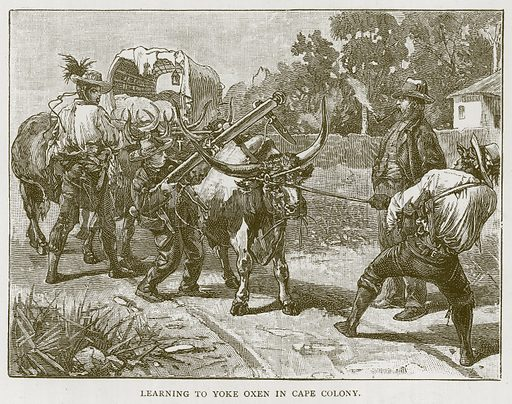 Learning to Yoke Oxen in Cape Colony. Illustration for Children of All Nations (Cassell, c 1880).