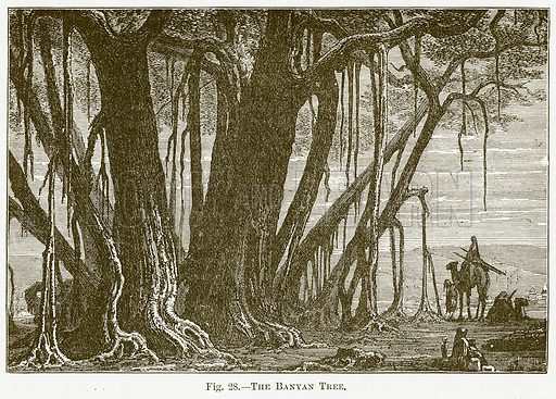 The Banyan Tree. Illustration for The New Popular Educator (Cassell, 1891).