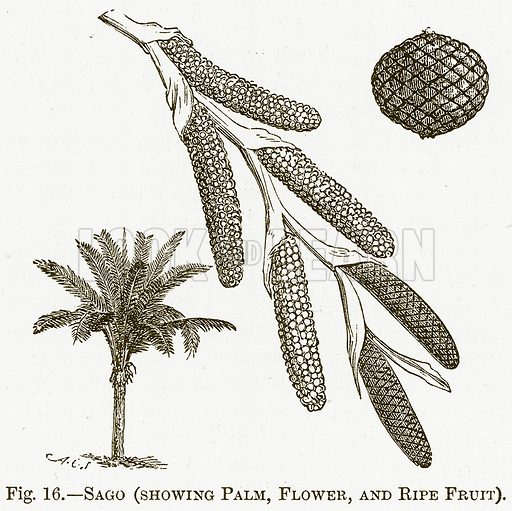 Sago (Showing Plam, Flower, and Ripe Fruit). Illustration for The New Popular Educator (Cassell, 1891).