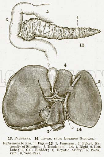 Pancreas and Liver. 13. Pancreas. 14. Liver, from Inferior Surface. Illustration for The New Popular Educator (Cassell, 1891).