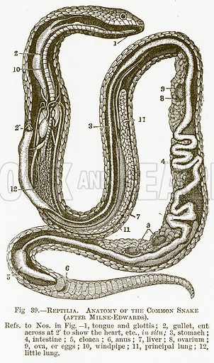 Reptilia. Antomy of the Common Snake (after Milne-Edwards). Illustration for The New Popular Educator (Cassell, 1891).