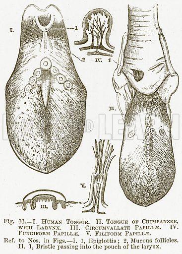 I. Human Tongue. II. Tongue of Chimpanzee, with Larynx. III. Circumvallate Papillae. IV. Fungiform Papillae. V. Filiform Papillae. Illustration for The New Popular Educator (Cassell, 1891).