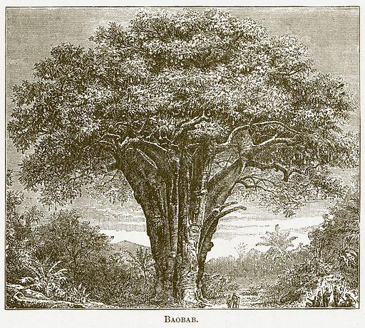 Baobab. Illustration for The New Popular Educator (Cassell, 1891).