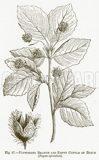 Flowering Branch and Empty Cupule of Beech (Fagus Sylvatica). Illustration for The New Popular Educator (Cassell, 1891).