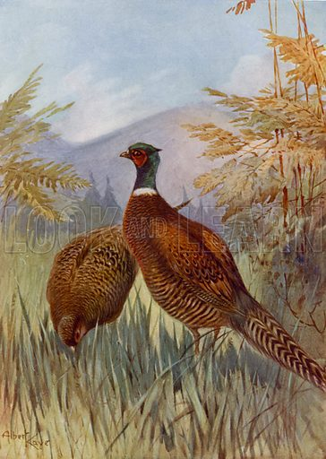 Pheasants. Illustration for Our Animal Friends (Blackie, c 1900).