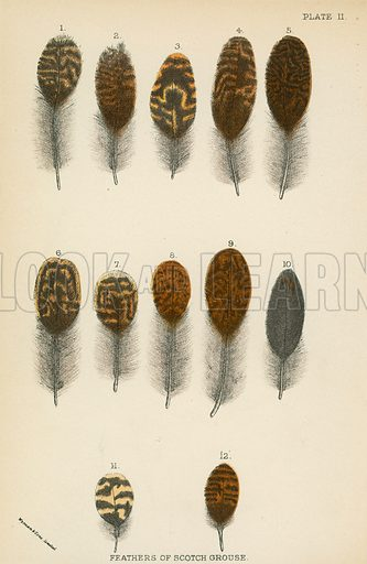 Feathers of Scotch Grouse. Illustration for A Handbook to the Game Birds by W R Ogilvie-Grant (Edward Lloyd, 1896).
