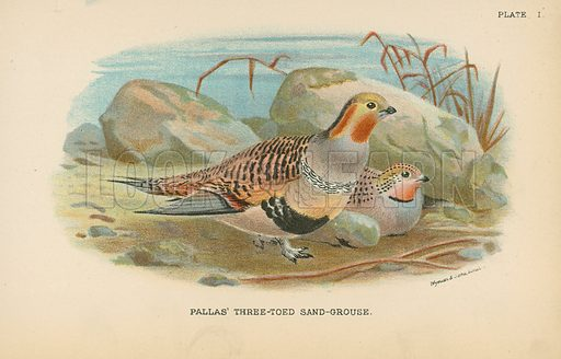 Pallas' Three-Toed Sand-Grouse. Illustration for A Handbook to the Game Birds by W R Ogilvie-Grant (Edward Lloyd, 1896).