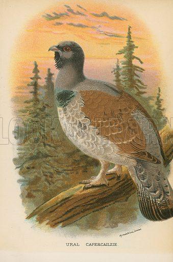 Ural Capercailzie. Illustration for A Handbook to the Game Birds by W R Ogilvie-Grant (Edward Lloyd, 1896).
