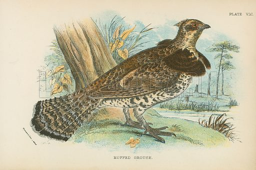 Ruffed Grouse. Illustration for A Handbook to the Game Birds by W R Ogilvie-Grant (Edward Lloyd, 1896).