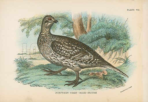Northern Sharp-Tailed Grouse. Illustration for A Handbook to the Game Birds by W R Ogilvie-Grant (Edward Lloyd, 1896).