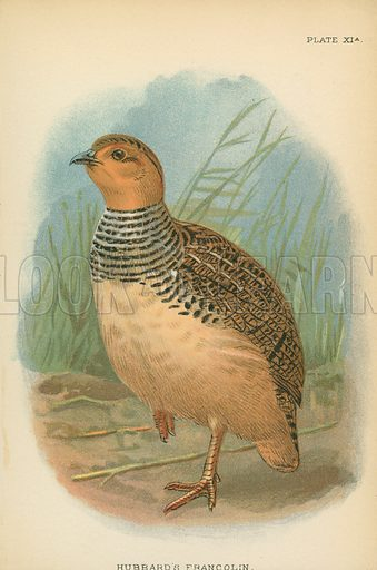 Hubbard's Francolin. Illustration for A Handbook to the Game Birds by W R Ogilvie-Grant (Edward Lloyd, 1896).