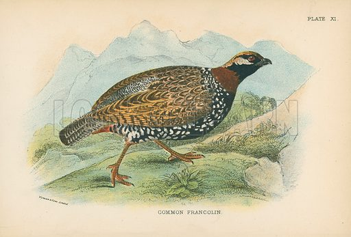 Common Francolin. Illustration for A Handbook to the Game Birds by W R Ogilvie-Grant (Edward Lloyd, 1896).