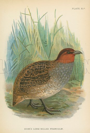 Hose's Long-Billed Francolin. Illustration for A Handbook to the Game Birds by W R Ogilvie-Grant (Edward Lloyd, 1896).