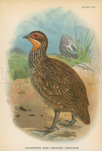 Reichenow's Bare-Throated Francolin. Illustration for A Handbook to the Game Birds by W R Ogilvie-Grant (Edward Lloyd, 1896).