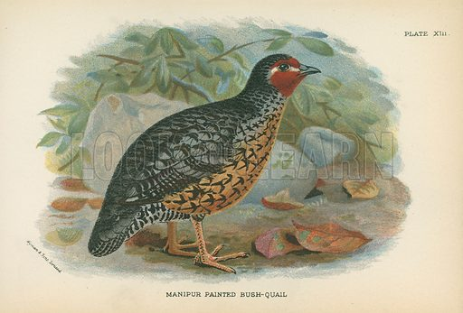 Manipur Painted Bush-Quail. Illustration for A Handbook to the Game Birds by W R Ogilvie-Grant (Edward Lloyd, 1896).