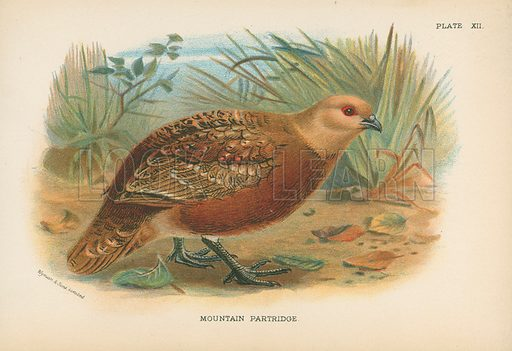 Mountain Partridge. Illustration for A Handbook to the Game Birds by W R Ogilvie-Grant (Edward Lloyd, 1896).