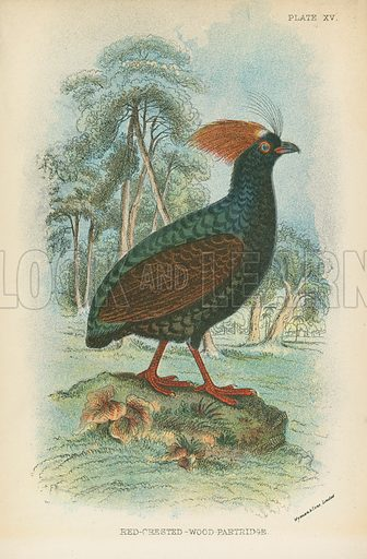 Red-Crested-Wood-Partridge. Illustration for A Handbook to the Game Birds by W R Ogilvie-Grant (Edward Lloyd, 1896).