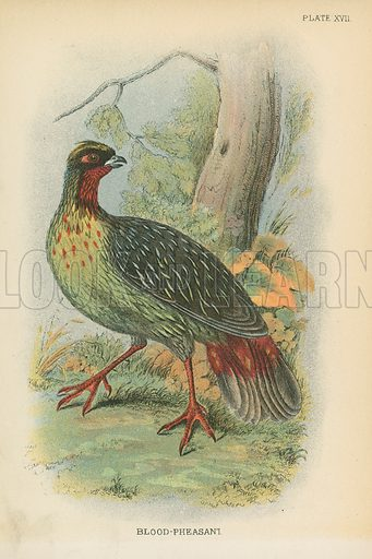 Blood-Pheasant. Illustration for A Handbook to the Game Birds by W R Ogilvie-Grant (Edward Lloyd, 1896).