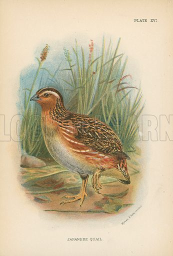 Japanese Quail. Illustration for A Handbook to the Game Birds by W R Ogilvie-Grant (Edward Lloyd, 1896).