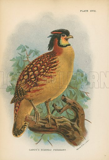 Cabot's Horned Pheasant. Illustration for A Handbook to the Game Birds by W R Ogilvie-Grant (Edward Lloyd, 1896).