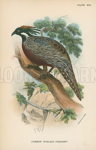 Common Koklass Pheasant. Illustration for A Handbook to the Game Birds by W R Ogilvie-Grant (Edward Lloyd, 1896).