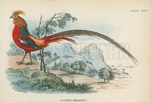 Golden Pheasant. Illustration for A Handbook to the Game Birds by W R Ogilvie-Grant (Edward Lloyd, 1896).