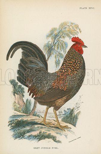 Grey Jungle Fowl. Illustration for A Handbook to the Game Birds by W R Ogilvie-Grant (Edward Lloyd, 1896).