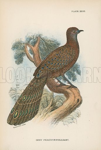 Grey Peacock-Pheasant. Illustration for A Handbook to the Game Birds by W R Ogilvie-Grant (Edward Lloyd, 1896).