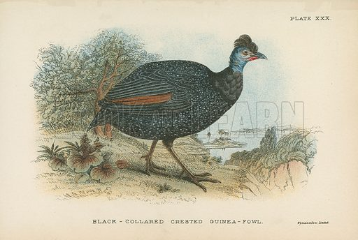 Black-Collared Crested Guinea-Fowl. Illustration for A Handbook to the Game Birds by W R Ogilvie-Grant (Edward Lloyd, 1896).