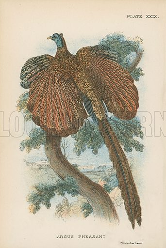 Argus Pheasant. Illustration for A Handbook to the Game Birds by W R Ogilvie-Grant (Edward Lloyd, 1896).