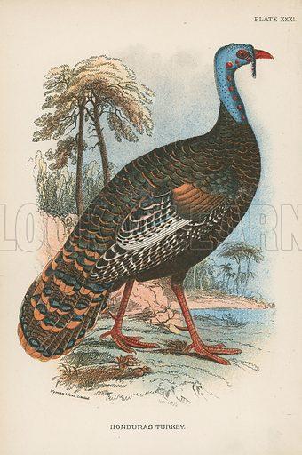 Honduras Turkey. Illustration for A Handbook to the Game Birds by W R Ogilvie-Grant (Edward Lloyd, 1896).