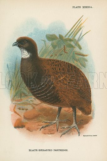 Black-Breasted Partridge. Illustration for A Handbook to the Game Birds by W R Ogilvie-Grant (Edward Lloyd, 1896).
