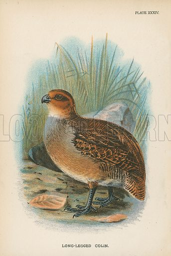 Long-Legged Colin. Illustration for A Handbook to the Game Birds by W R Ogilvie-Grant (Edward Lloyd, 1896).