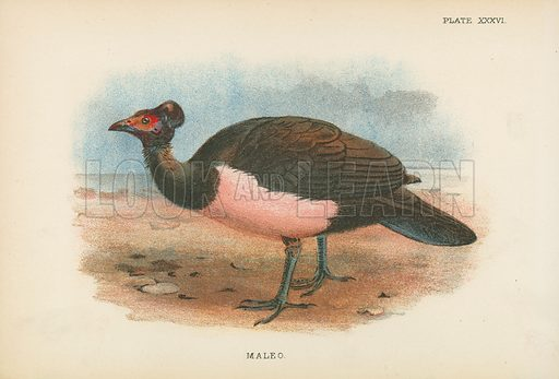 Maleo. Illustration for A Handbook to the Game Birds by W R Ogilvie-Grant (Edward Lloyd, 1896).