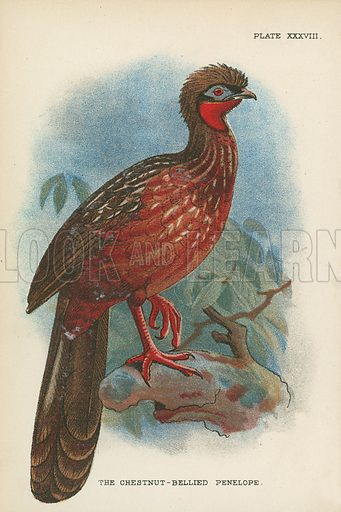The Chestnut-Bellied Penelope. Illustration for A Handbook to the Game Birds by W R Ogilvie-Grant (Edward Lloyd, 1896).  NB. Tissue paper stuck to parts of image.