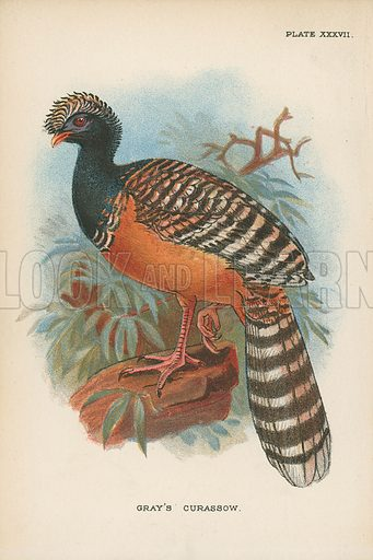 Gray's Curassow. Illustration for A Handbook to the Game Birds by W R Ogilvie-Grant (Edward Lloyd, 1896).