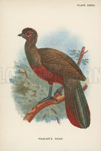 Wagler's Guan. Illustration for A Handbook to the Game Birds by W R Ogilvie-Grant (Edward Lloyd, 1896).