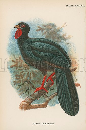 Black Penelope. Illustration for A Handbook to the Game Birds by W R Ogilvie-Grant (Edward Lloyd, 1896).  NB.  Tissue paper stuck to parts of image.