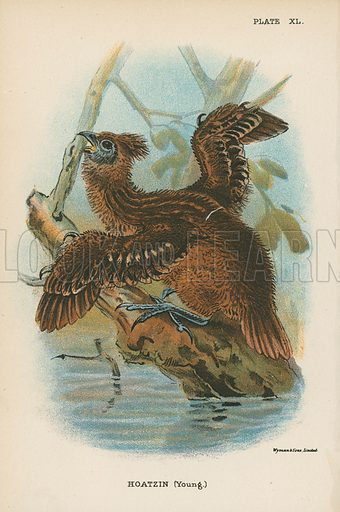 Hoatzin (Young.) Illustration for A Handbook to the Game Birds by W R Ogilvie-Grant (Edward Lloyd, 1896).