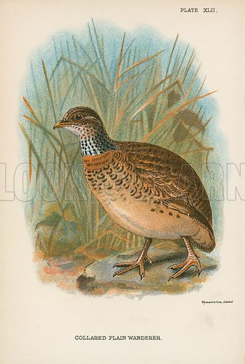 Collared Plain Wanderer. Illustration for A Handbook to the Game Birds by W R Ogilvie-Grant (Edward Lloyd, 1896).