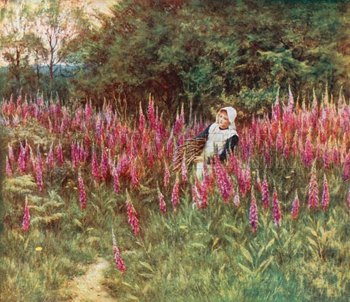 Foxgloves. Illustration for Happy England by Marcus B Huish (A & C Black, 1909).